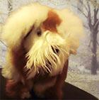Various BABY ALPACA Fur - Schnauzer Puppies Ornament